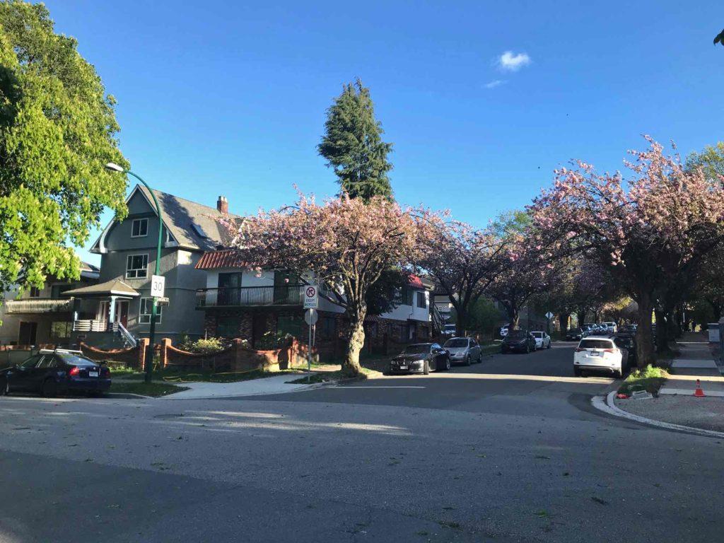 Cerisier en fleurs dans le quartier Mont Plaisant à Vancouver Canada